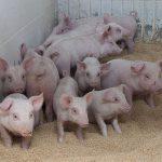 [肉豚出荷予測]12月は2%増、来年1月は6%増の予測