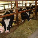 牛マルキン8月乳用種のみ発動、概算払い補填金2万2800円