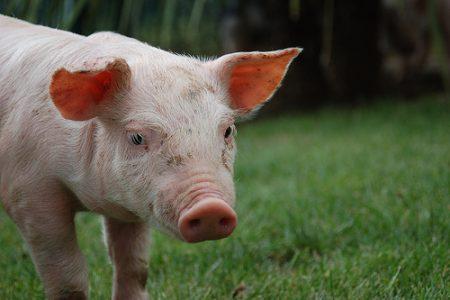 農水省豚コレラ防疫対策本部が豚コレラ終息に向けた対策を決定