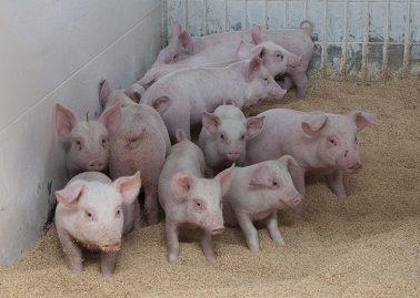 [肉豚出荷予測]3月は平年比1%減、1〜3月平年比1%減